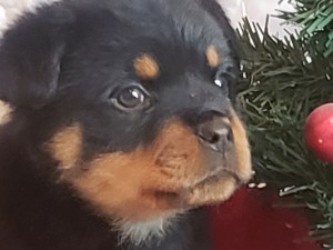 Rottweiler male puppy available now.