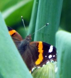 butterflies 021