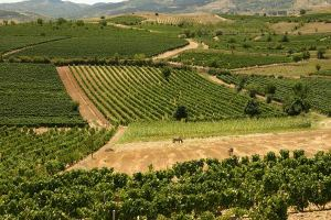 Kavadarci Vineyards