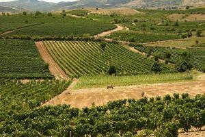 Kavadarci Vineyards