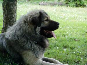 The Sharplaninec dogs are majestic animals.