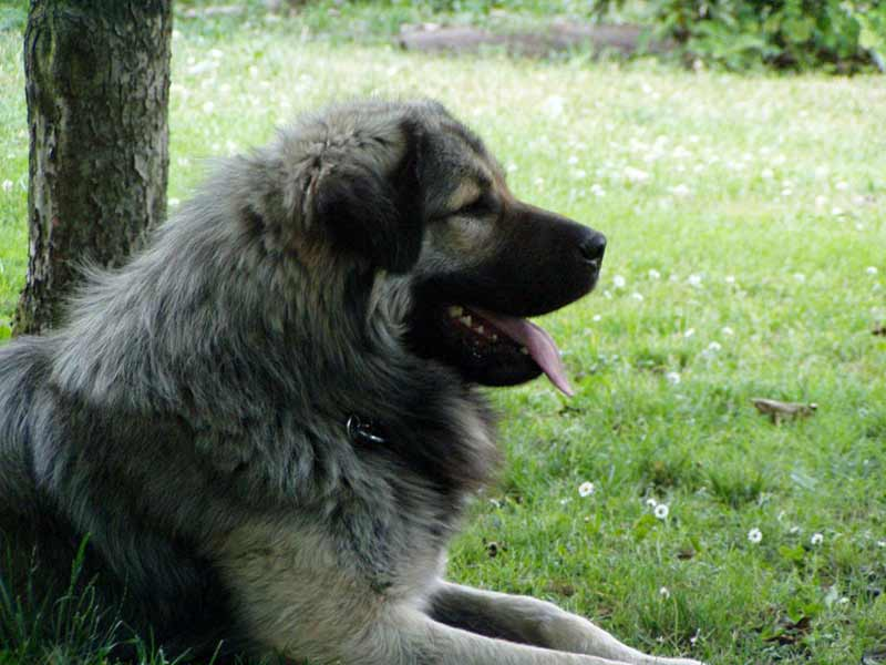Sharplaninec – Macedonian shepherd dog