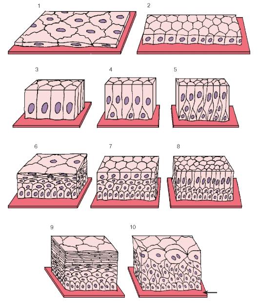Картинки многослойного эпителия