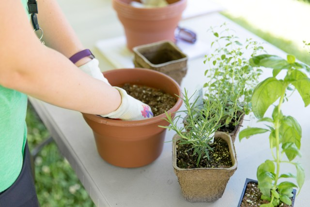 planting herbs
