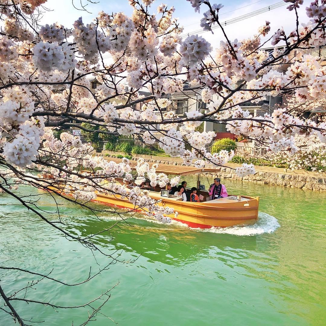 HOA ANH ĐÀO - OKAZAKI CANAL - ĐI THUYỀN NGẮM HOA