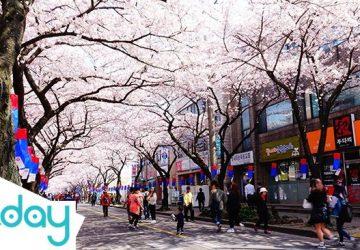 Đường hoa ở Jeonnong-ro (credit: google) - Hoa anh đào Hàn Quốc - Blog KKday Việt Nam