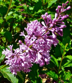 Lilac - Photo © 2016 by V.Nesdoly