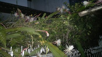 Wijayakusuma flowers in my frontyard garden