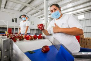 Empaquetamiento de manzanas. Foto de SAGARPA