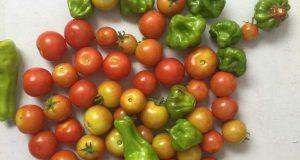 Residentes de la comunidad La Moca recolectaron el fruto de su trabajo en huerto, con la primera cosecha de pepinillos, fresas, brócolis y tomates.