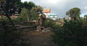 Walgreens realizó el corte y poda de cinco árboles del bosque urbano El Samán, la madrugada del 31 de mayo de 2014, incluyendo su árbol distintivo, un Samán de más de 45 años de edad. (Facebook / Coamar)