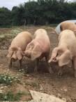 les PBO (porcs blancs de l'ouest)