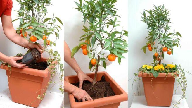 Cómo plantar cítricos enanos en maceta - Decogarden