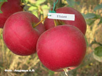 сорт яблок Элизиент