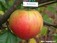 сорт яблок Рубинетте