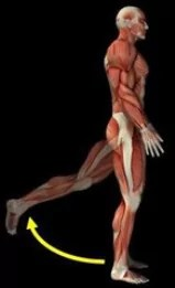 retroflexie beenspieren