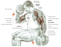 dumbbell curl biceps oefening
