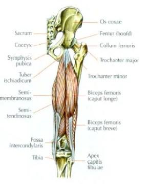 anatomie hamstrings