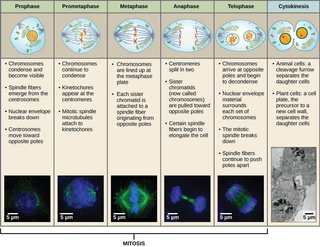 stages of mitosis diagram labeled front load washer parts the cell cycle voer
