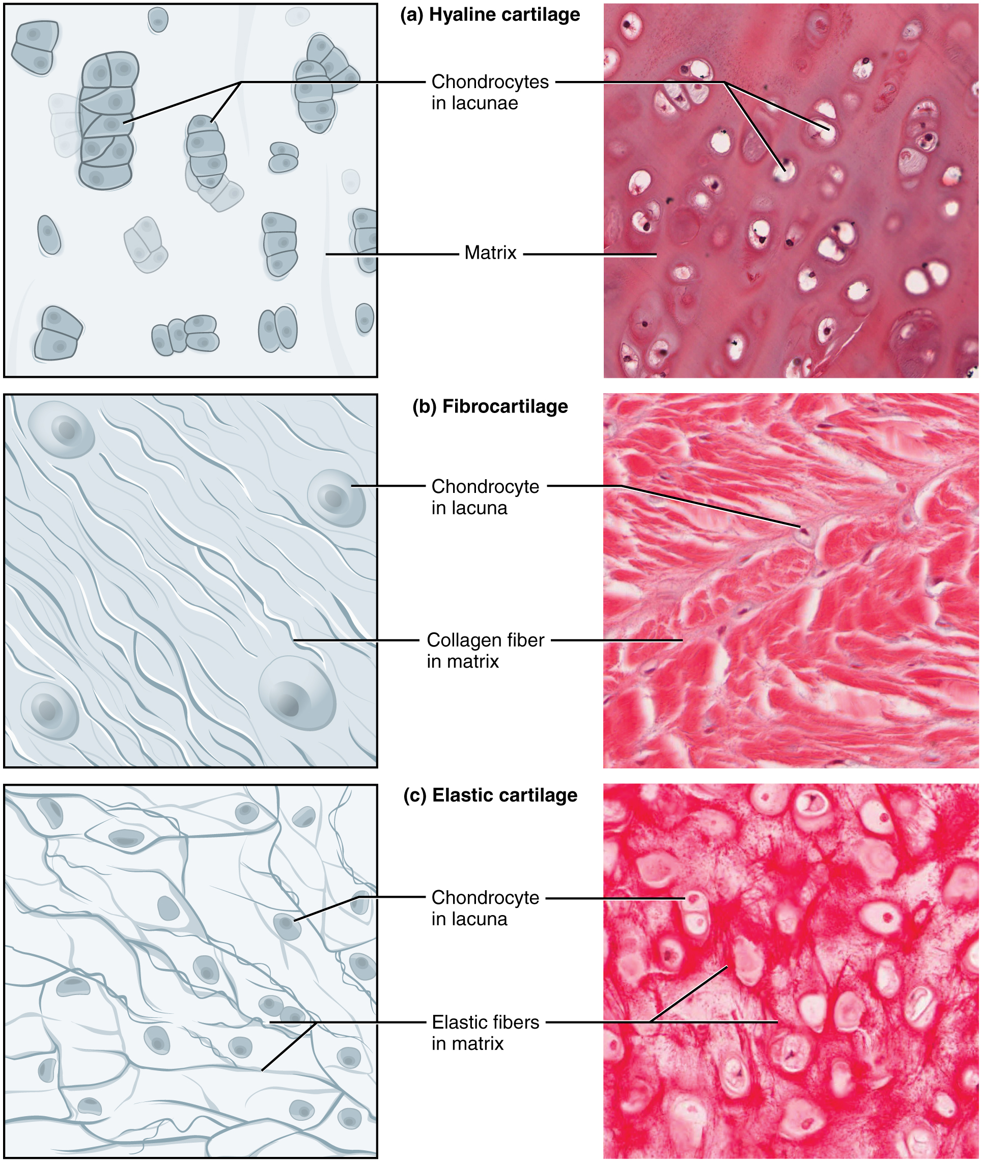 label microscope diagram worksheet electric wire connective tissue supports and protects - voer