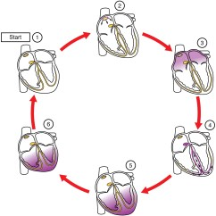 Sinoatrial Node Diagram Porsche 964 Abs Wiring Cardiac Muscle And Electrical Activity Voer