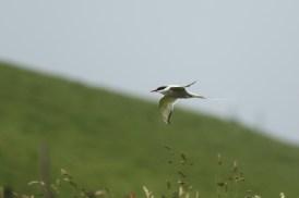 Noordse Stern; Arctic Tern