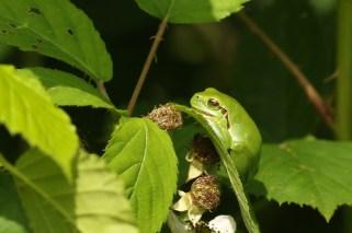 Boomkikker; European Tree Frog