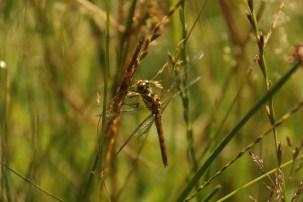 Steenrode Heidelibel; Vagrant Darter