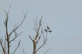 Bijeneter; European Bee-eater