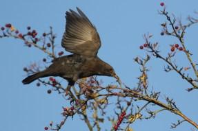 Merel; Common Blackbird
