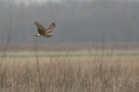 Blauwe Kiekendief; Hen Harrier
