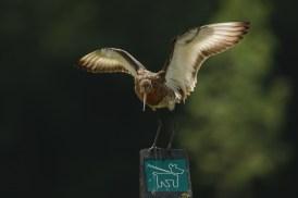 Grutto; Black-tailed Godwit