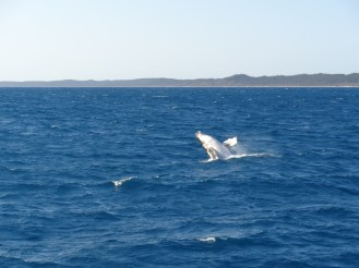 whale watching Harvey Bay (1)