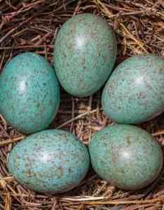 Bird egg identifier also gardenbird rh voicerdenbird