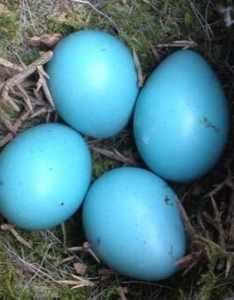 Dunnock eggs also bird egg identifier gardenbird rh voicerdenbird