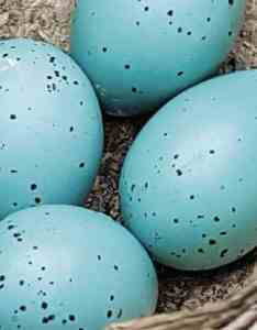 Song thrush eggs also bird egg identifier gardenbird rh voicerdenbird