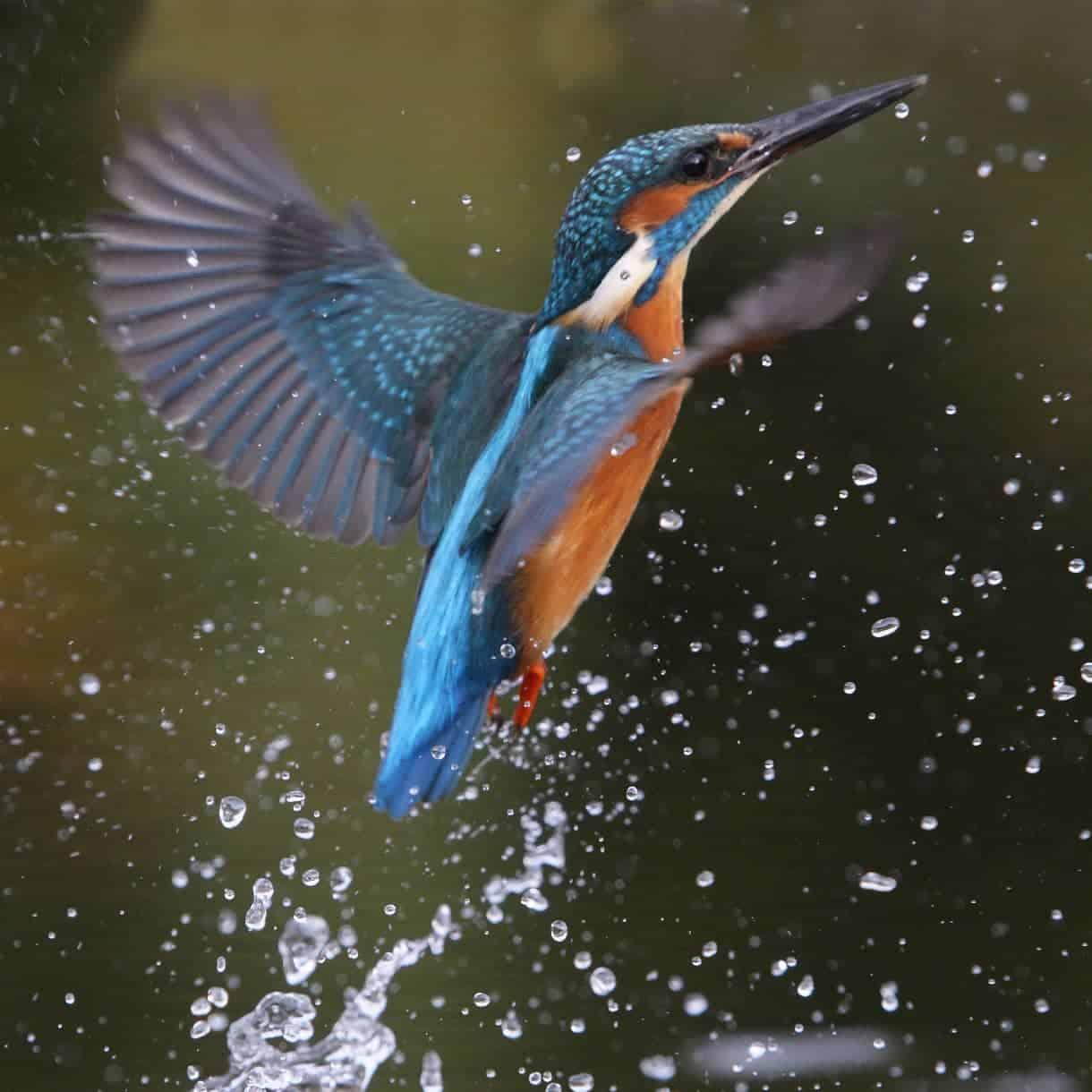 Kingfisher-opt - GardenBird