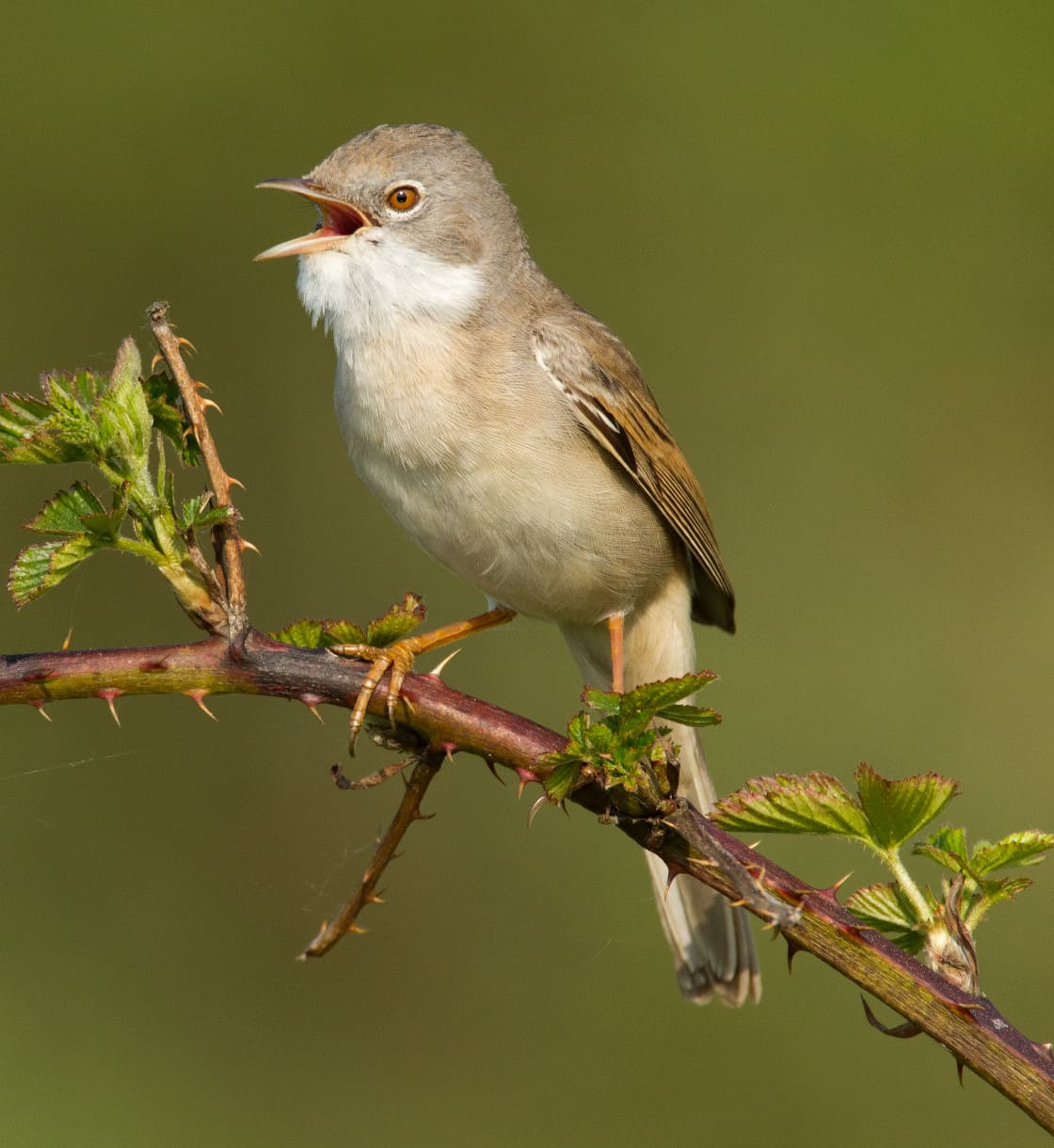 all about the whitethroat gardenbird