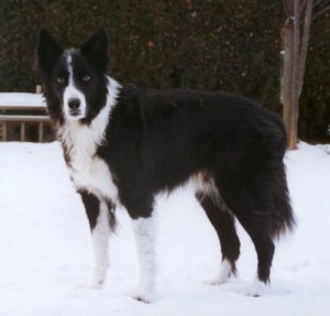 Big, beautiful pure bred Border Collie, standing in the snow, looking at the camera