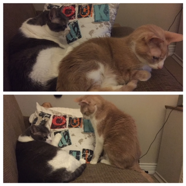 First photo shows Spice lying down with his back right up to the front of Sugar. In the second photos she is still lying there while he sits and stares at her.