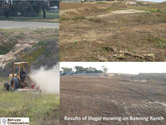 Developers has have intensively mowed to hide habitat