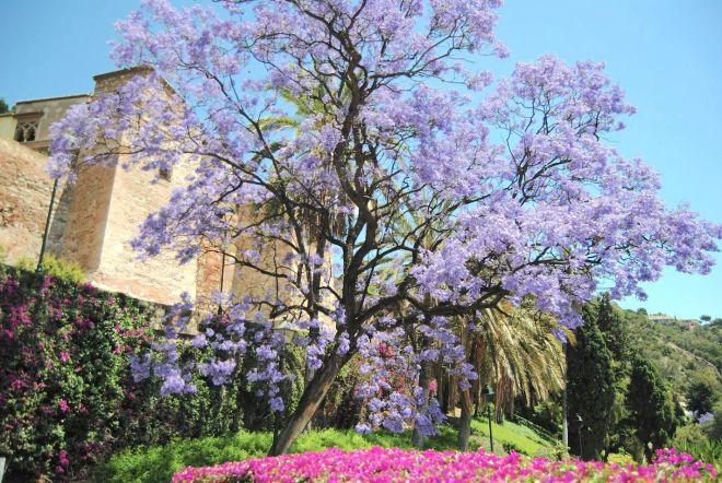 jardines de málaga jacaranda