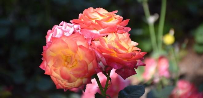 rose malaga gardens