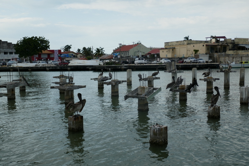 Pelicans drying their wings in Belize City.