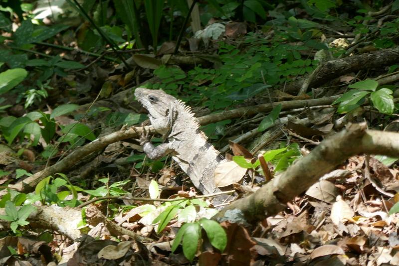 green iguana in Table Rock, Cayo