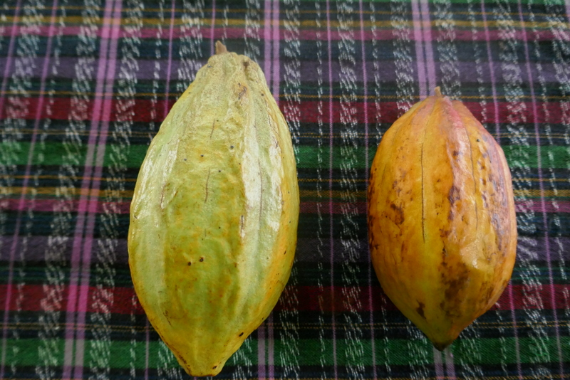 cacao during a presentation at AJAW