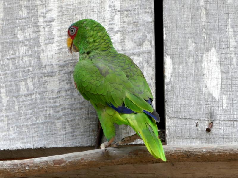 Parrot in El Remate, Guatemala.