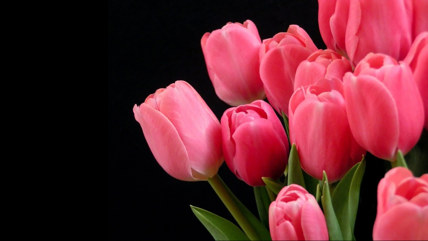 Quotes Wallpapers For Windows 7 Beautiful Tulips Wallpapers 1366x768 Volganga