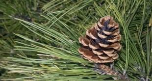 Opština Danilovgrad će se posaditi preko 250 sadnica crnog bora