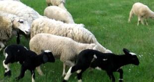 Otkup jagnjadi i ove godine – dobre vijesti i za proizvođače i za penzionere